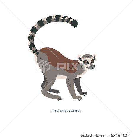 Ring-tailed lemur or Lemur catta - large strepsirrhine primate with long black and white ringed tail. 68460888