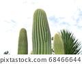 Pillar cactus 68466644