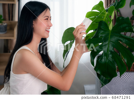 Asian woman clean a monstera leaves in her 68471291