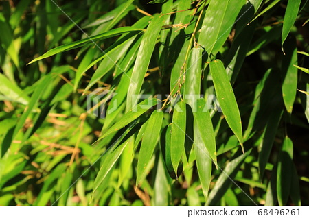 Green bamboo leaves exposed to sunlight 68496261