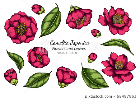 Pink Camellia Japonica flower and leaf drawing 68497963