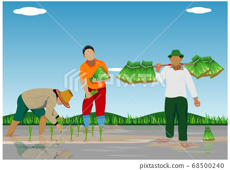 farmer transplant rice seeding in paddy field vector design 68500240