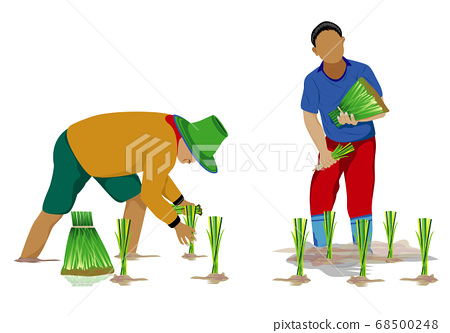 farmer transplant rice seeding in paddy field vector design 68500248