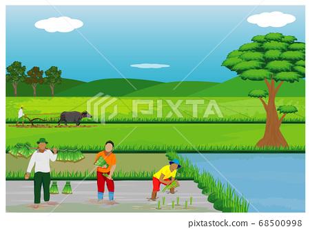 farmer transplant rice seeding in paddy field vector design 68500998