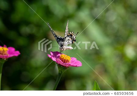 堅持花的Swallowtail蝴蝶 68503656