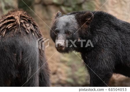 一隻熊看著黑熊 68504053