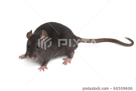 rat isolated 68509606
