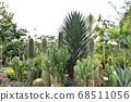 Cactus 68511056