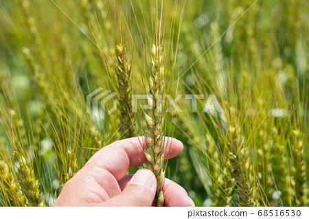 一個人麥田(五月)檢查在綠色的田野中的麥穗 68516530