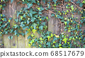 Green ivy on vintage wooden wall backgound 68517679