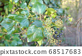 Green ivy on vintage brick wall backgound 68517683