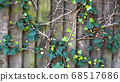 Green ivy on vintage wooden wall backgound 68517686
