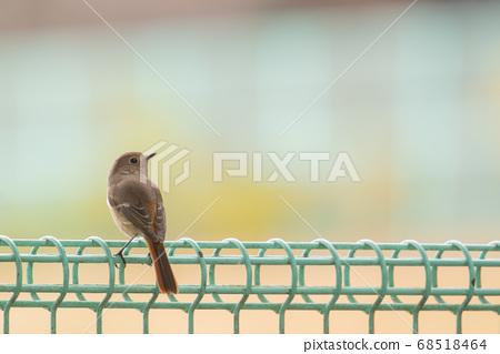 겨울 울타리에 자리 잡은 딱새 암컷 68518464