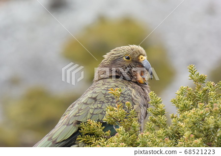 """野生鳥類""""起亞""""在新西蘭。美山鸚鵡。庫克山 68521223"""