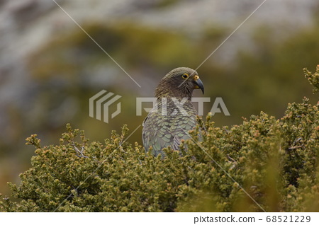 """野生鳥類""""起亞""""在新西蘭。美山鸚鵡。庫克山 68521229"""