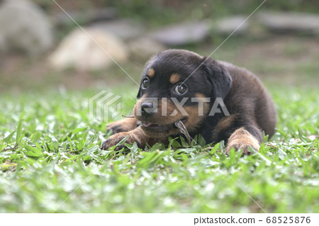 Puppy dog chewing dry leaves and sit on grass 68525876