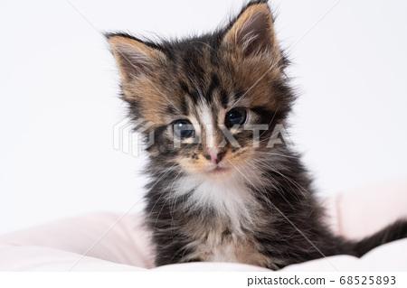 緬因庫恩貓 68525893