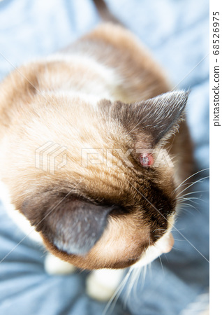 귀에 비만 세포종이있는 고양이 68526975
