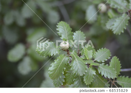 Portuguese oak 68535829