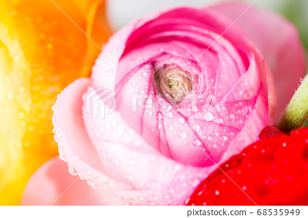 Ranunculus Buttercup Flowers of different colours 68535949