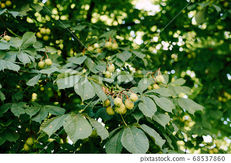 The fruit of horse chestnut on the branches of the tree - ball-shaped boxes with spikes. 68537860