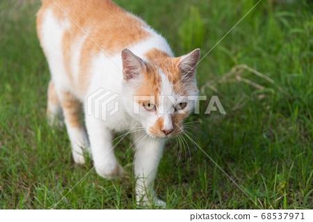 걷는 고양이 차 흰색 고양이 68537971