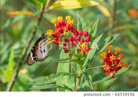 [Danaus chrysippus]河馬棲息在植物上 68539598