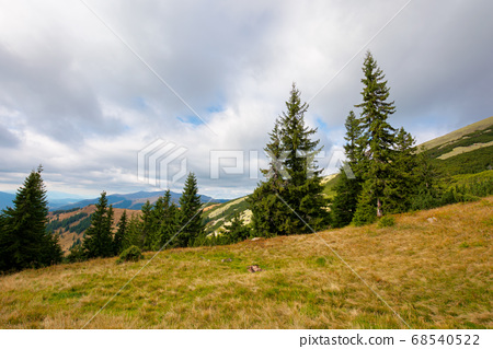 spruce forest on the hillside meadow. colorful 68540522