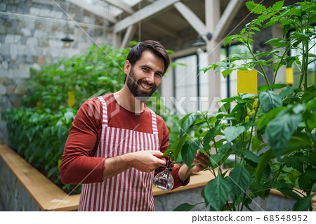 Front view of man gardener standing in greenhouse, spraying plants with water. 68548952
