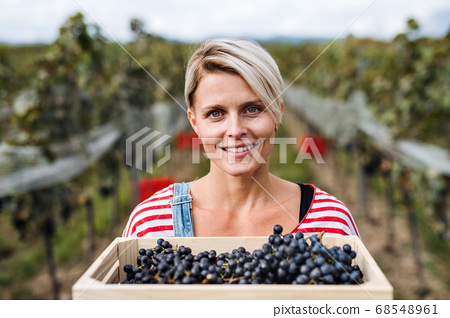 Portrait of woman holding grapes in vineyard in autumn, harvest concept. 68548961