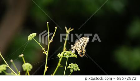 燕尾蝴蝶 68572972