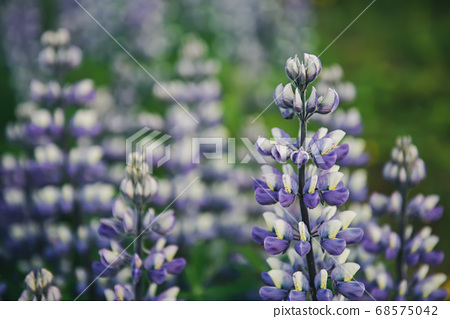 Lupine flowers in Iceland 68575042