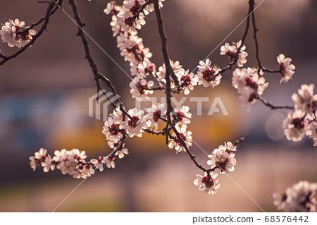 Apricot tree blossoms 68576442