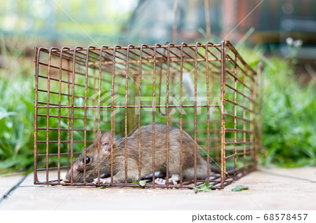Closeup of rat mouse caught in rat trap cage 68578457