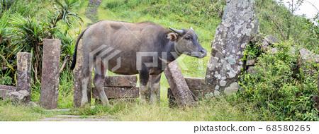 물소 동물 Taoyuan Valley Caoling Trail 초원 초원 대만 물소 68580265