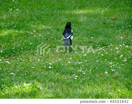 Magpie on the lawn (Spain) 68581642