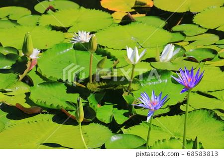 [고치 현] 모네의 정원 수련 68583813