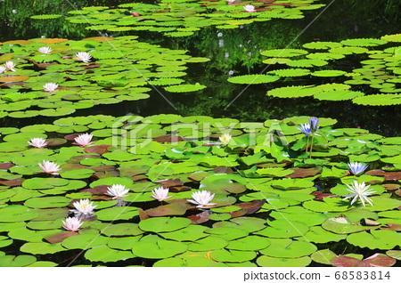 [고치 현] 모네의 정원 수련 68583814