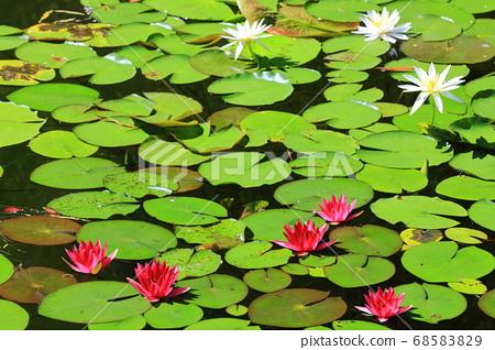 [고치 현] 모네의 정원 수련 68583829