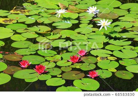 [고치 현] 모네의 정원 수련 68583830