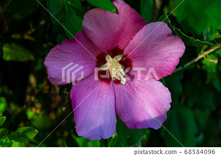 pink hybiscus syracusan flower front 68584096