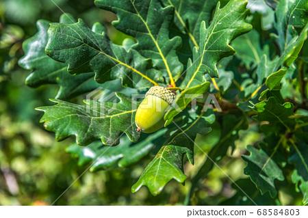 Acorn on oak 68584803