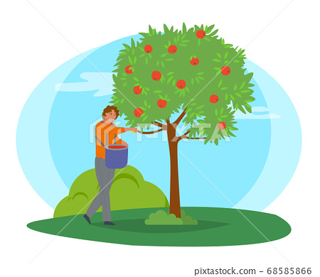 Man Collects Apples from Tree in Bucket 68585866