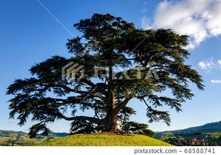 secular cedar of La Morra 68588741