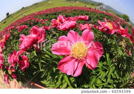 可以看到紅色牡丹花朵的風景 68593399