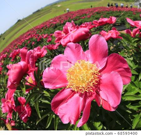 빨간 모란꽃이 보이는 풍경 68593400