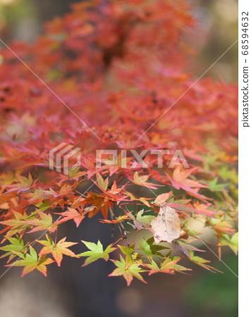 枫叶与绿色的树叶混合物的特写镜头 68594632