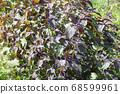 Red perilla in the summer garden 68599961