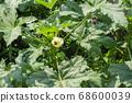 Okra flowers in the summer garden 68600039