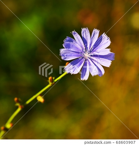 Bright flowers of chicory. Background for summer landscape. (Cichorium intybus) Healing herbs. 68603907